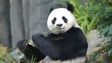 Adorable Giant Pandas show