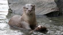 Otter Family show