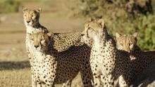 Wild Cats show