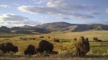Yellowstone show