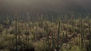 Saguaro photo