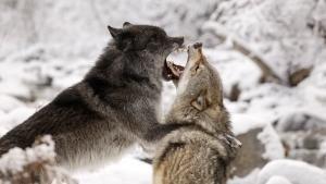 Animal Battles photo