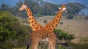 African Giraffes photo