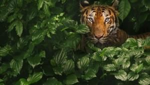 Tiger On The Run photo