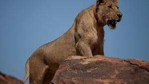 Vanishing King: Desert Lions Of Namib photo