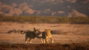 Vanishing King: Desert Lions Of Namib photo