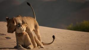 الملك المتلاشي: أسود صحراء ناميب صورة