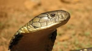 King Cobra Close-up photo