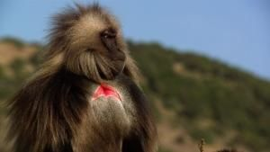 The Great Baboon photo