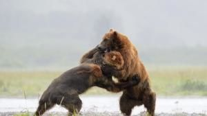 Grizzly Bears, Guanacos, Beetles photo