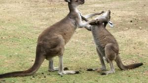 Kangaroos, Tigers, Octopus photo