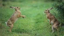 Warthogs, Hippos, Mongoose show