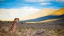 Majestic Cheetah show