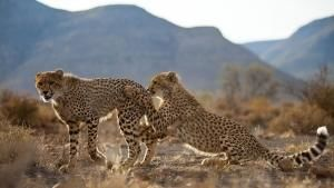 Majestic Cheetah photo