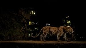 Leopards At The Door photo