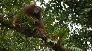 Orangutan On The Edge photo