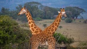 Walking With Giraffes photo