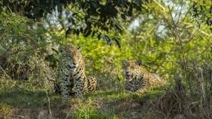 Mother Jaguar photo
