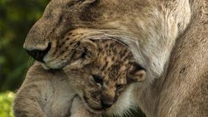 گربه های بزرگ خاص عکس