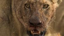 بوتسوانا: نبردی برای حفظ گله شیرها برنامه