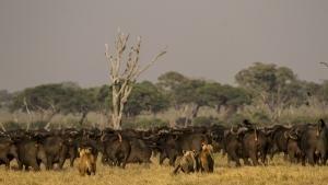 بوتسوانا: نبردی برای حفظ گله شیرها عکس