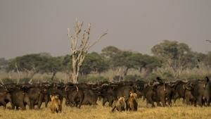 Botswana: Battle for the Pride photo