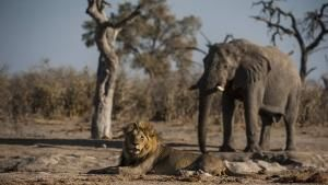 Botswana: Battle for the Pride photo