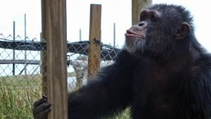 Chimps in Captivity photo