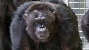 Chimps in Captivity photo