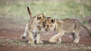 ميدان معركة القطط الكبيرة صورة