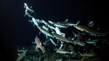 Diving with Sharks show