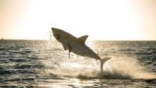 Giant Sharks show