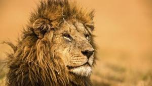 Lion Specials photo
