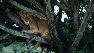 Amazing Lions photo