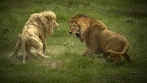 ليلة قتال الحيوانات صورة