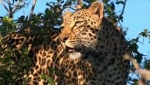 South African Leopards show