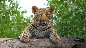 South African Leopards photo