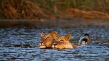 Surviving Lions show