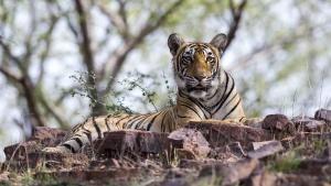Queen Tigers photo