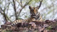 Queen Tigers show