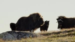 Wild Arctic photo
