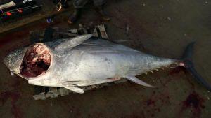 Tuna And The Beast photo