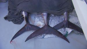 السمكة و الوحش صورة