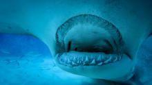 Shark Jaws show