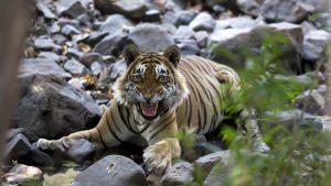 مواجهة النمور صورة