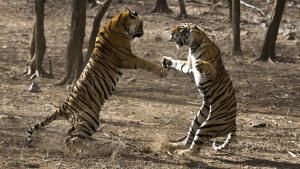 Clash of Tigers photo