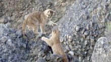 Man vs. Puma show