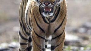 Clash of Tigers photo
