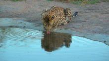 Leopard Kingdom show