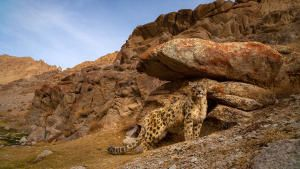 Indian Big Cats 照片